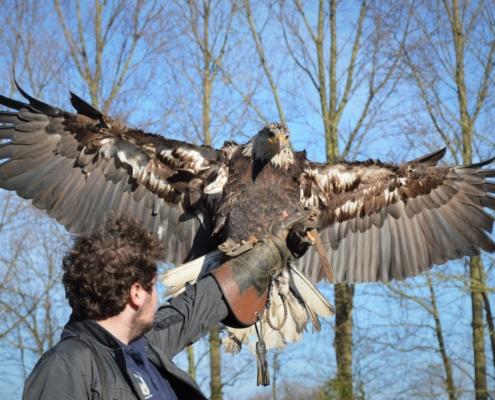 Dagbesteding roofvogels en uilen natuur Amerikaanse Zeearend