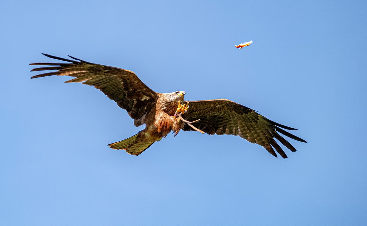 Roofvogeldemonstratie Roofvogels en Uilen Zwarte wouw
