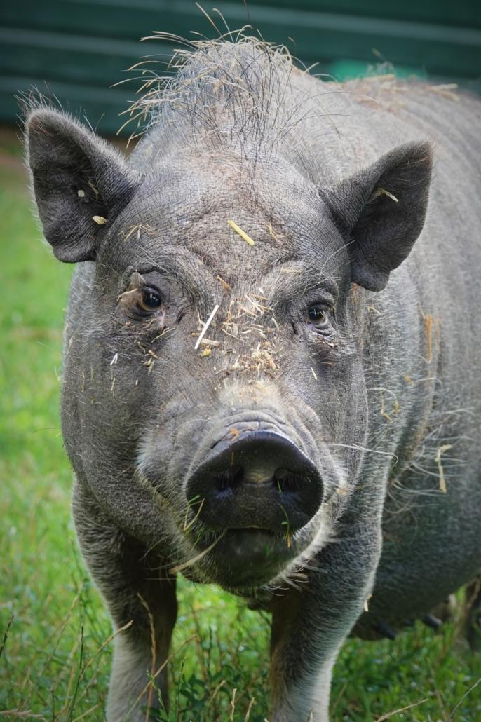 Kinderboerderij de Put andijk hangbuikzwijn
