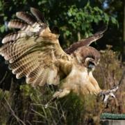 Projecten wings of change volieres maleise bosuil brown wood uil roofvogel opvang