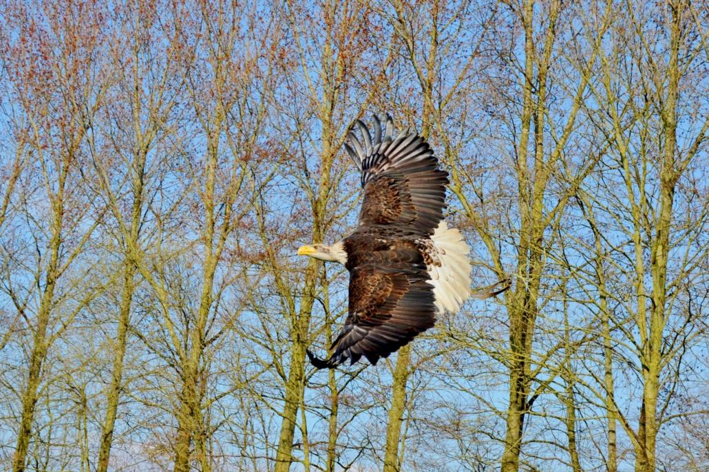 Roofvogel opvang baldeagle amerikaanse zee arend wings of change