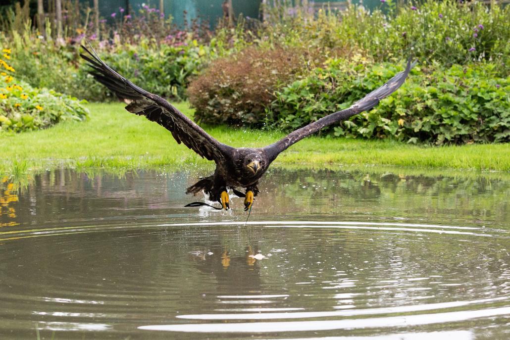 roofvogel opvang baldeagle amerikaanse zeearend wings of change