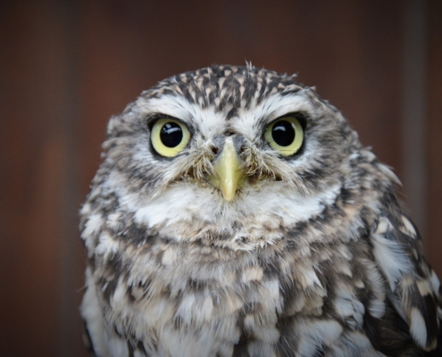 Roofvogel opvang uilen wings of change steenuil little owl