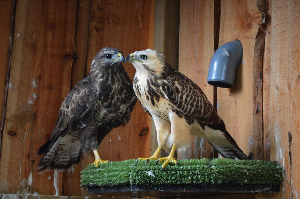 Roofvogel opvang wilde buizerds wings of change dierenlot