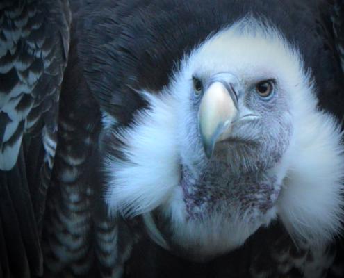 Conservatie van met uitsterven bedreigde Ruppels gieren