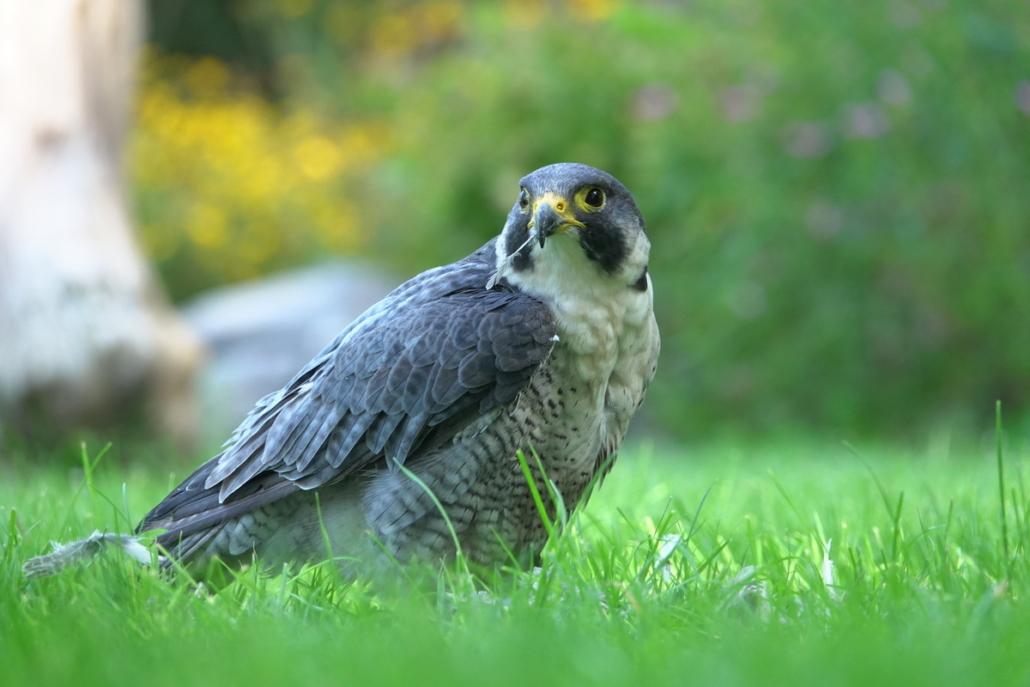Wings of Change natuurbeleving en educatie Slechtvalk roofvogels en uilen