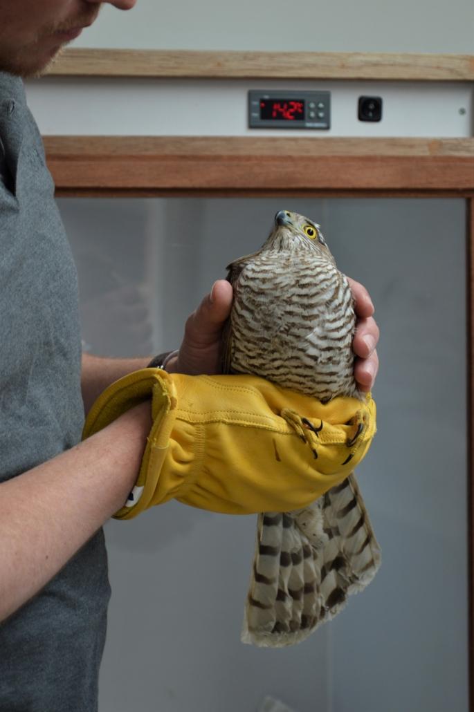 Verzorging roofvogels en uilen roofvogelambulance