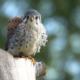 Natuurbeleving en educatie scholen leskisten torenvalk Wings of change
