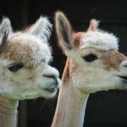 Wings of Change Kinderboerderij de Put activiteiten alpaca