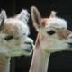 Kinderboerderij de Put activiteiten alpaca