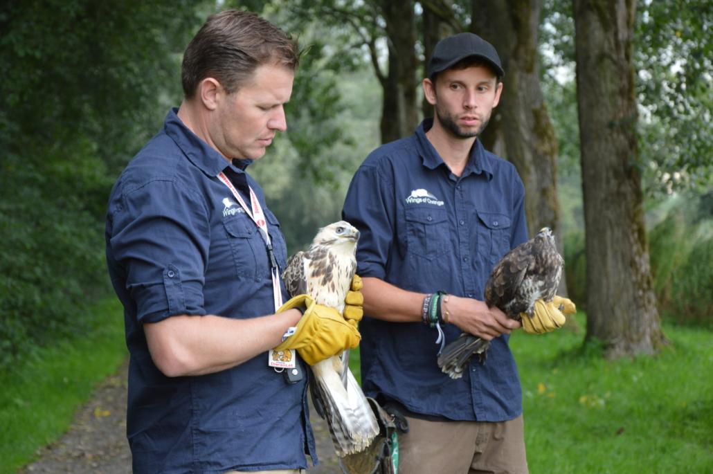 Wings of Change natuur dierenlot buizerds uitzetten vrijlaten conservatie