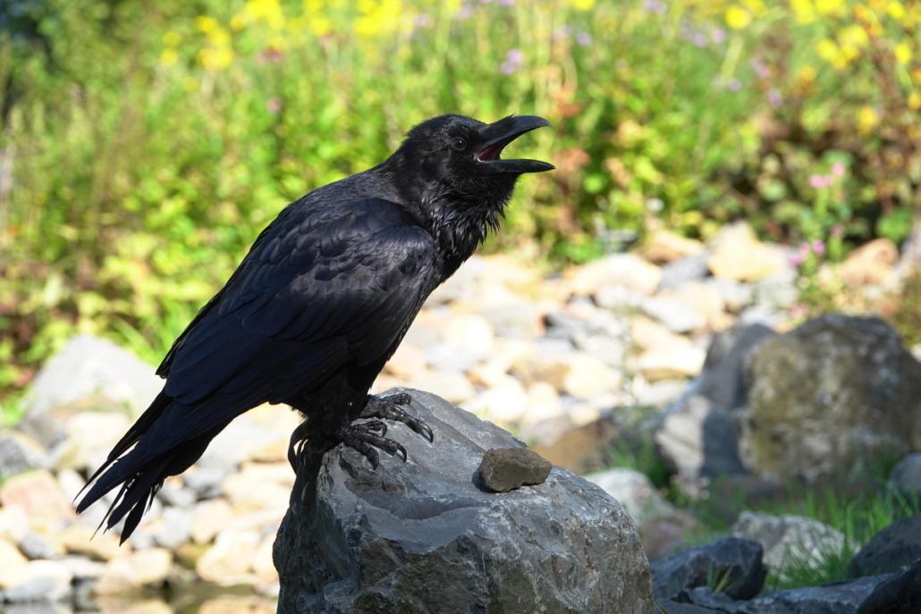 Zwarte raaf wings of change opvang
