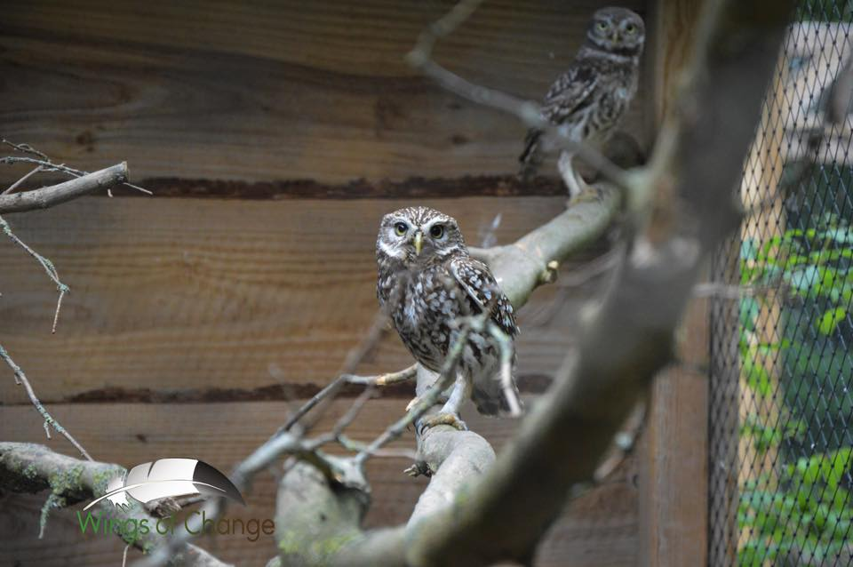 Wings of Change roofvogel uilen opvang steenuil little owl sanctuary